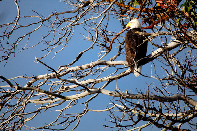 Bald eagle in a madrone tree wall mural contemporary for Eagle wall mural