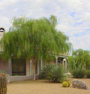 Great Design Plant Palo Blanco Softens Sharp Desert Angles
