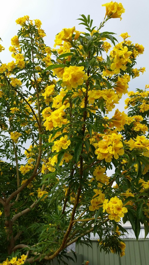 Yellow flowering tree for Garden trees with yellow flowers