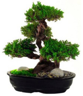 Monterey Preserved Bonsai Tree Asian Artificial
