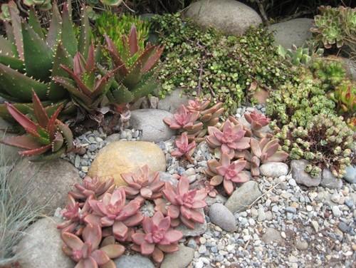 Some Photos Of My Succulent Rock Garden.   Photo#4