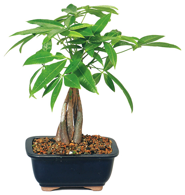 Bonsai money tree asian plants by brussel 39 s bonsai for Indoor decorative live plants