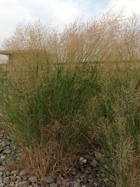 Id types of ornamental grass for Kinds of ornamental grasses