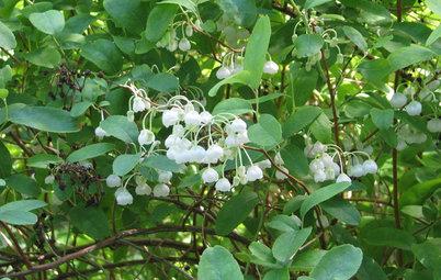 Zenobia Pulverulenta Brightens Shady Southeastern Gardens