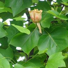 Great Design Plant: Tulip Poplar