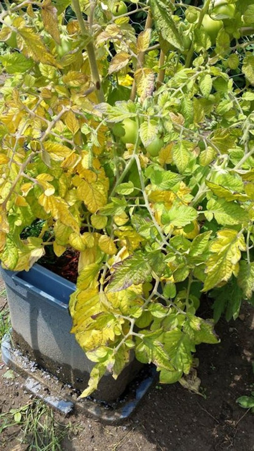 Tomato Plant Leaves Turning Yellow Purple