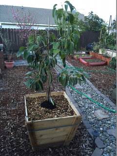 I Just Got Done Transplanting The Smaller Tree Into New Container M Doing Other One Tomorrow When Can Get A Second Pair Of Hands To Help