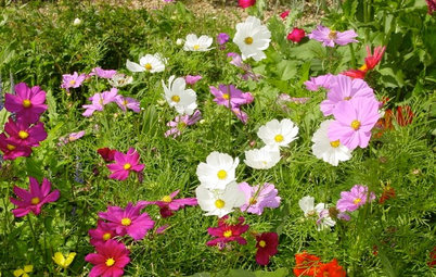 Enjoy the Old-Fashioned Appeal of Garden Cosmos