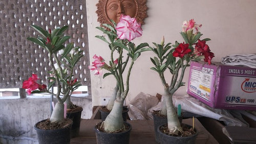 My Adeniums in New Delhi