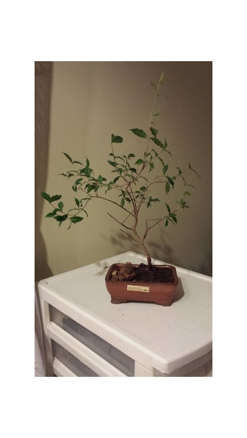 Help With My Barbados Cherry Bonsai