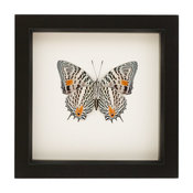 Framed Butterfly Narrow Lined Beauty