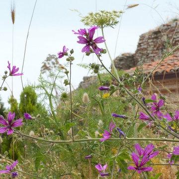 Malva sylvestris selvatica (wild form)