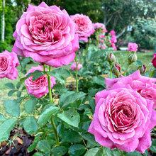 Rose - Queen of Elegance