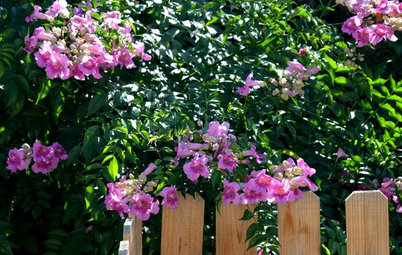 Great Design Plant: Pink Trumpet Vine Heralds Vibrant Color