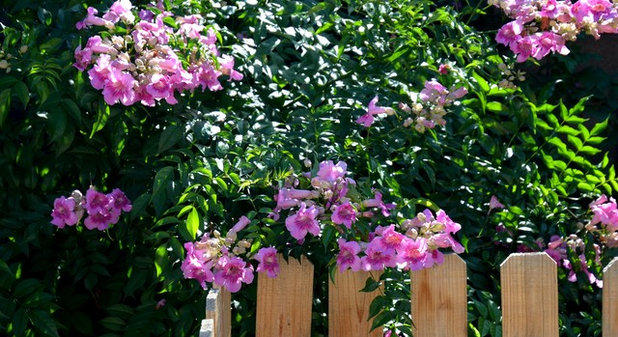 Great design plant pink trumpet vine heralds vibrant color mightylinksfo Image collections