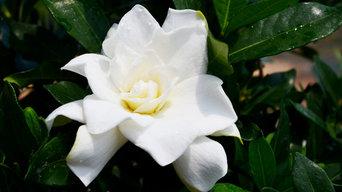 First Editions® Sweet Tea Gardenia