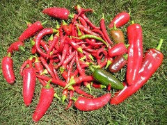 I Love Hot Peppers But These Jalapenos Have Even Been Almost Too For Me To Cut Them Thin And Eat With A Bite Of Food