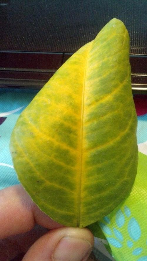 yellow veins  curled leaves  meyer lemon