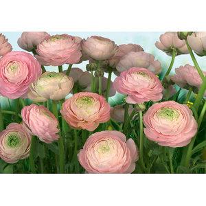 Romantic Gentle Rose Photo Wall Mural, 368x254 cm