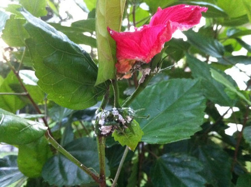 White Fungus On Hibiscus Buds