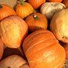 Summer Crops: How to Grow Pumpkins