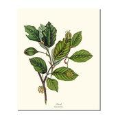 Vintage Botanical Tree Leaf Art Print: Beech