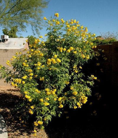 Great design plant yellow bells a screening queen by noelle johnson landscape consulting mightylinksfo
