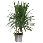 Scape Supply - Live 5' Marginata 'Staggered Tips' Package, Chrome - This live 5 foot Marginata is slightly fuller than our cutback variety with the leaves having never been trimmed back.  The Marginata leaves are thin with a reddish outside border.  This package includes a professional 12 inch planter, moss, and saucer.  Our plants arrive cleaned and ready for placement in your home.  This variety has 3 stalks per pot and has a thicker leaf structure at the top of the plant.