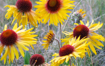 Blanketflower's Yellow Blooms Brighten Up Summer and Fall Gardens