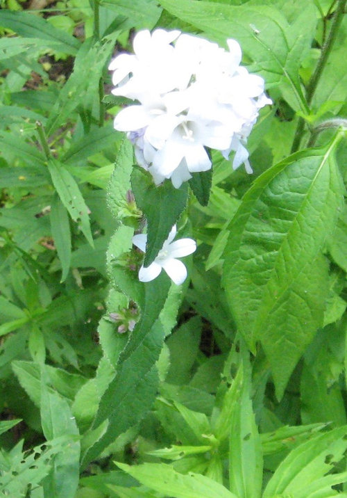 Plant with white flowers 5 petals leaves are opposite on the stem mightylinksfo