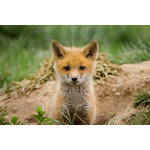 "Pi Photography Wall Art and Fine Art - ""Coming Out"" (Baby Fox Pup) Wildlife Photography Unframed Wall Art Print, 24""x36 - ""Coming Out"" Wildlife Photography - Luster Photo Paper Unframed Wall Art Print"
