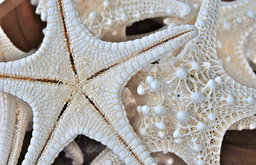 """Bumpy Stars"" White Knobbed Starfish White Matted and Framed Sepia Photograph"
