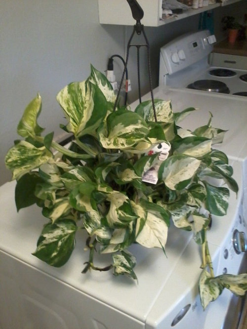 Found The Quot Manjula Quot Pothos At My Local Walmart