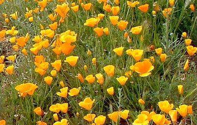Great Design Plant: California Poppy