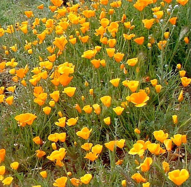 10 Top California Native Plants Trees And Grasses