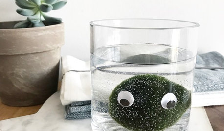 Pet Plant: Could You Love a 'Marimo' Moss Ball?