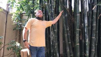 Manhattan Beach Bamboo Removal