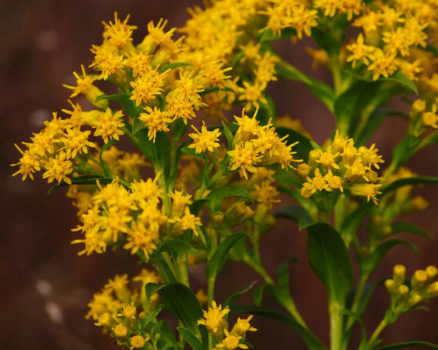 This sunny yellow flower helps fall pollinators and landscapes by dan mullen mightylinksfo