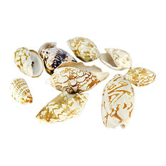 """Various Natural Beach Seashells Appox. 8oz Per Bag Voluta Vespertillo 2.5""""-3"""