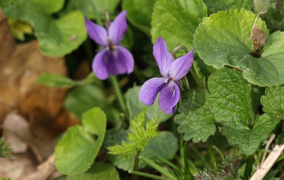 Spring Is the Season for Sweet Violets