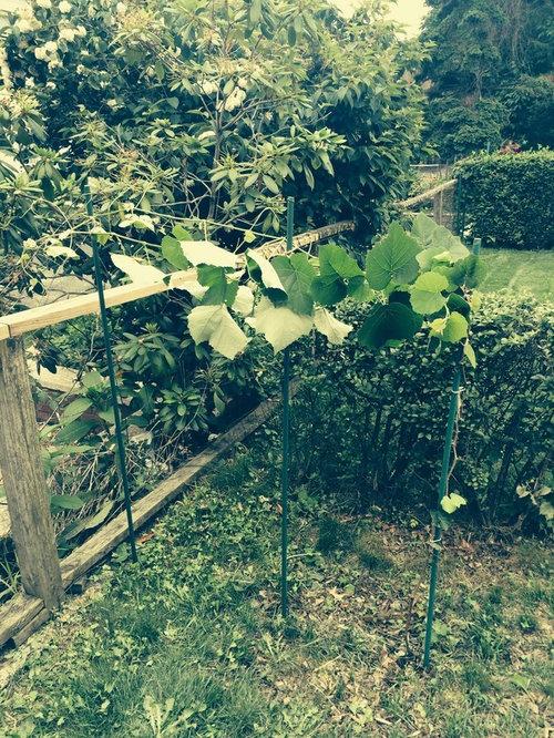Bad Idea For Grape Vine Support
