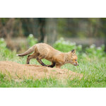 "Pi Photography Wall Art and Fine Art - ""On The Move"" (Baby Red Fox) Wildlife Photography Unframed Wall Art Print, 24""x3 - ""On The Move"" Wildlife Photography - Luster Photo Paper Unframed Wall Art Print"