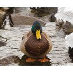 "Pi Photography and Fine Art - ""Mallard Duck at Powder Mill"" Wildlife Photo Wall Art Print, 20""x30"" - ""Mallard Duck at Powder Mill"" Wildlife Photography Wall Art Print"