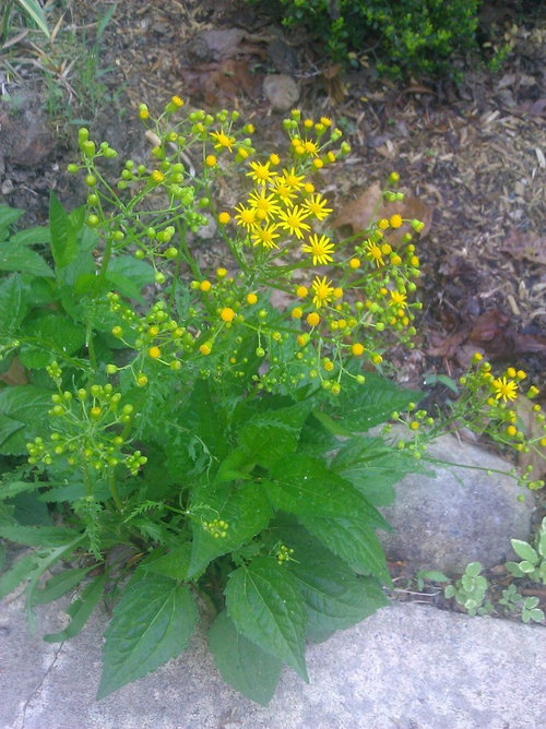 Strange plant with tiny yellow flowers new home first spring and unusual flowers are popping up all over my yard i live in western north carolina in the mountains and would love to know what mightylinksfo