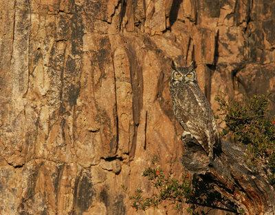 Great Horned Owl (Bubo viginianus) - Peloncillo Mountains