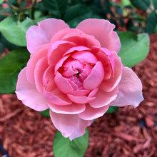 Rose - The Alnwick Rose