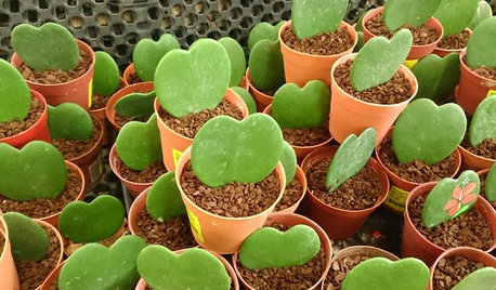 Share the Love With an Adorable Heart Hoya Plant