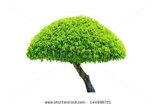 Small Umbrella Shaped Evergreen Tree