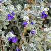Great Design Plant: Violet Silverleaf Thrives on Scant Water