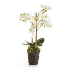 """Phalaenopsis 20"""" Drop-In White"""